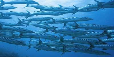 Night Dive Creatures - Barracuda