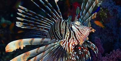 Night Dive Creatures - Lionfish